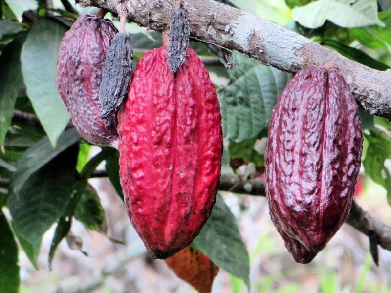 trinidad cocoa